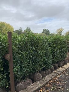 Hedging & Topiary rootballs now in stock