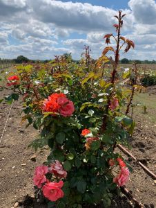 Rochfords International Rose Trials