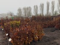 Fagus Sylvatica - available in 60-90cm through to larger feathered 175-200cm.