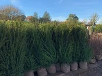 Taxus Baccata RB - sizes from 60cm to 3m available