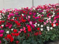 Cyclamen C0.5 - Available all winter and autumn (subject to availability)